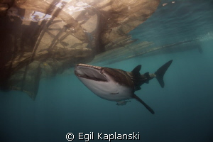 Whale Shark by Egil Kaplanski 